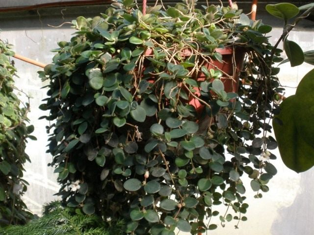Кодонанта мясистая (Codonanthe carnosa)