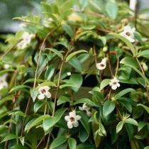 Кодонанта изящная (Codonanthe gracilis)