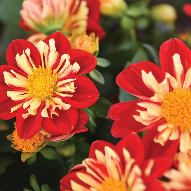 Dahlia-Star-Sister-Red-and-Yellow