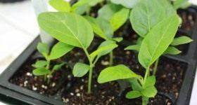 Выращивание рассады баклажанов - Сад и огород