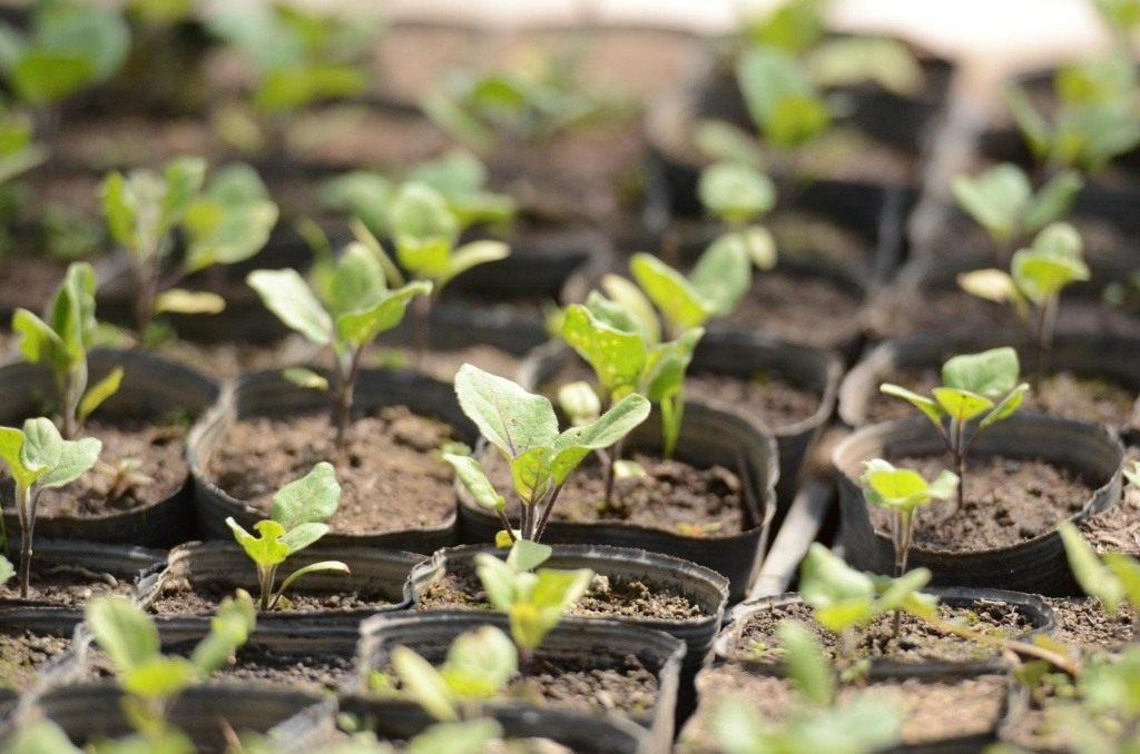 Когда выращивают рассаду баклажан 167
