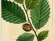 Fagus-grandifolia-01