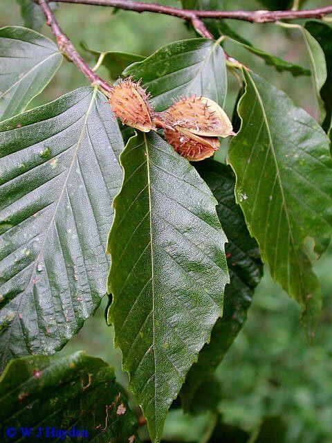 Fagus-grandifolia-02