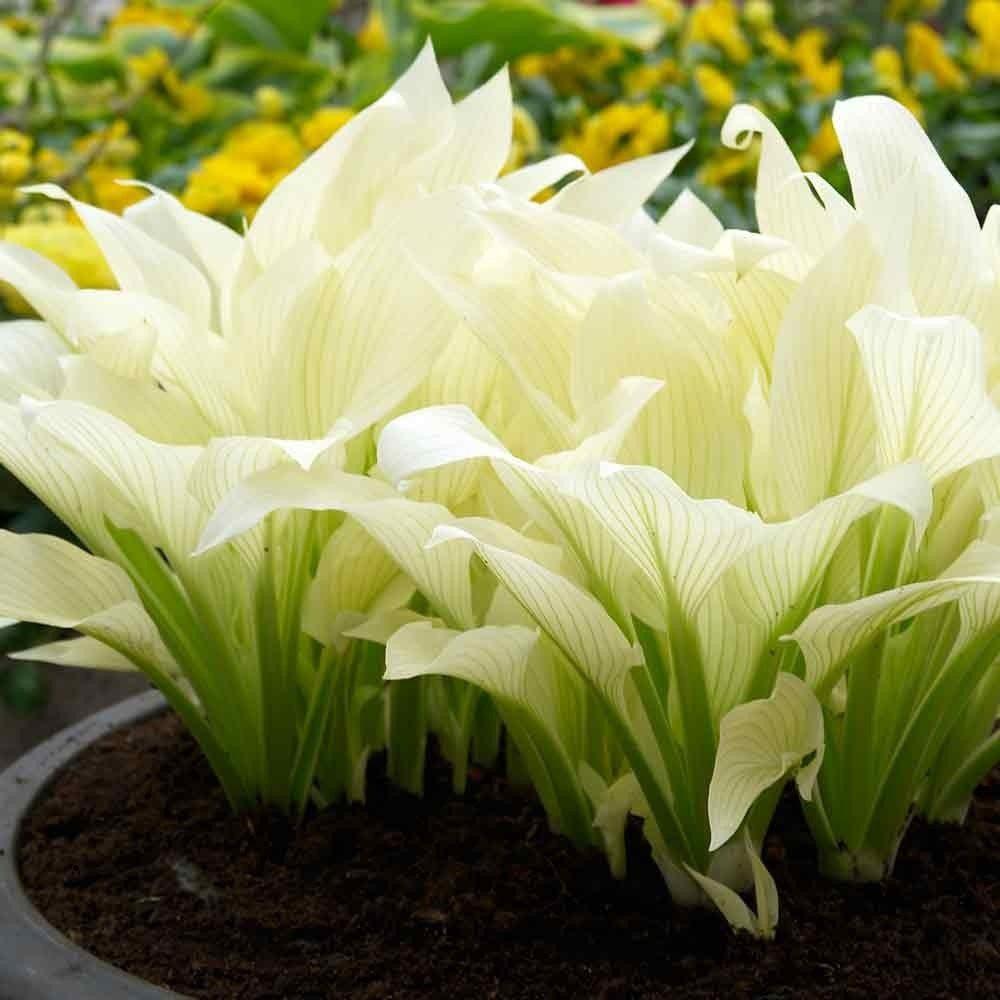 Hosta-White-Feathers-01