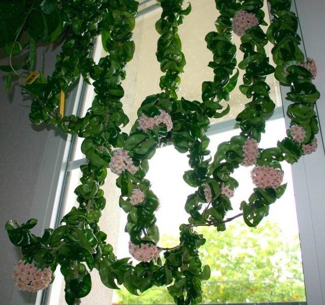 Хойя компактная (Hoya compacta)