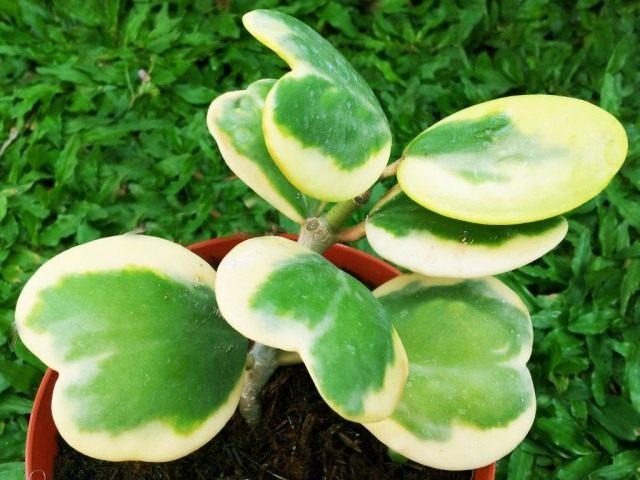 Хойя Керра пёстролистная (Hoya Kerrii variegata)