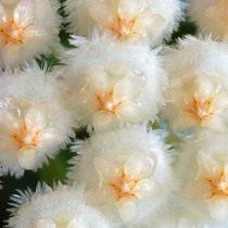Хойя вогнутая (Hoya lacunosa)