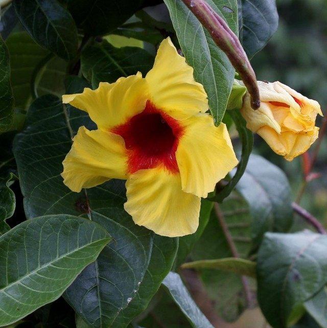 Мандевилла жестковолосистая (Mandevilla hirsuta)