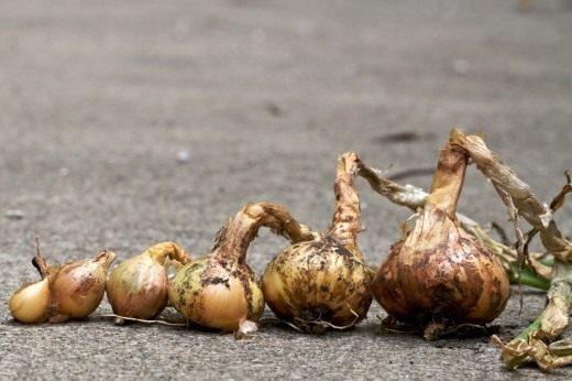 Лук репчатый от севка до крупной луковицы