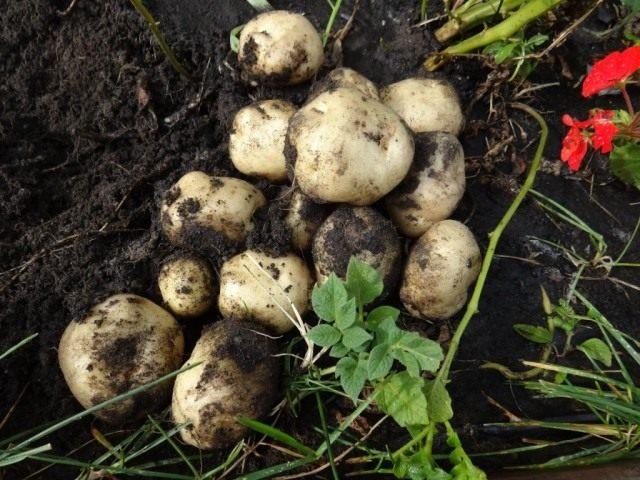 Клубни картофеля, выращенные из семян, на второй год