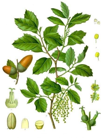 Quercus-suber-01
