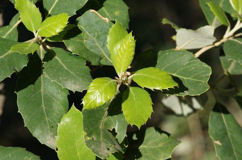 Quercus-suber-03