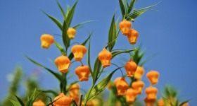 Роскошная сандерсония, или Золотой ландыш - Цветник и ландшафт