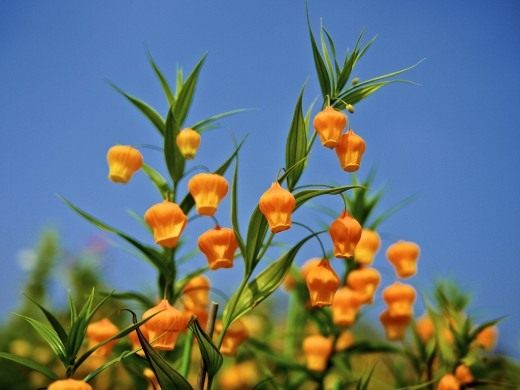 Сандерсония оранжевая, или Золотой ландыш