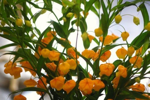 Cандерсония оранжевая (Sandersonia aurantiac)