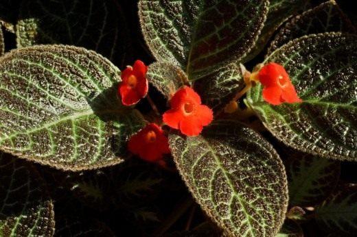 Эписция медная, или Эписция медно-красная (Episcia cupreata)