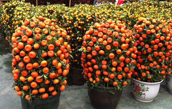 mandarin-trees-03