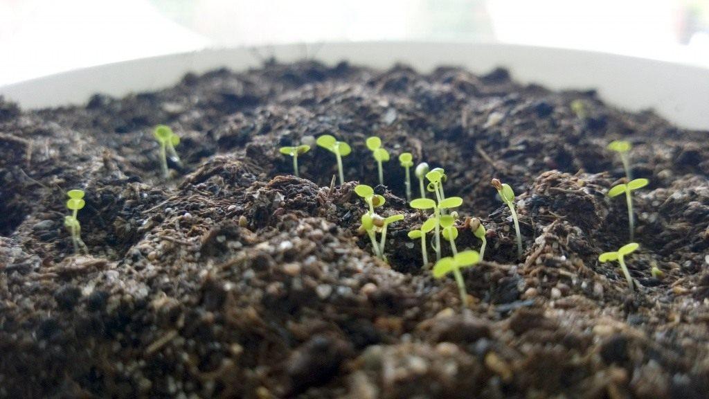 Как правильно посадить землянику на рассаду из семян 15