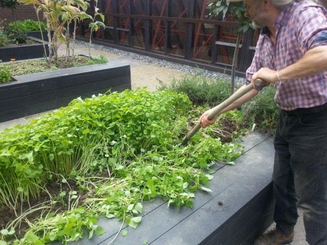 Весенние сидераты можно использовать как мульчу или как зеленое удобрение при заделке в почву
