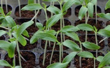 Начинаем посев на рассаду овощных культур