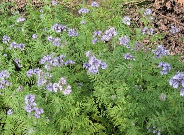 Фацелия является хорошим сидератом и отличным медоносом, способным привлечь опылителей в сад