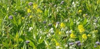 Сидераты можно высевать смесью, усиливая положительное воздействие на почву