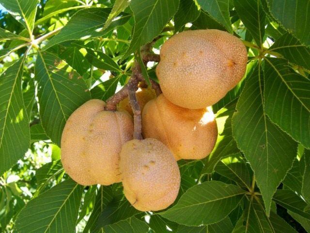 Плоды красного конского каштана
