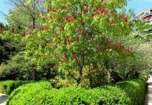 Красный конский каштан павиа