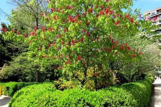 Конский каштан красный, или конский каштан павия темно-красный (Aesculus pavia atrosanguinea)
