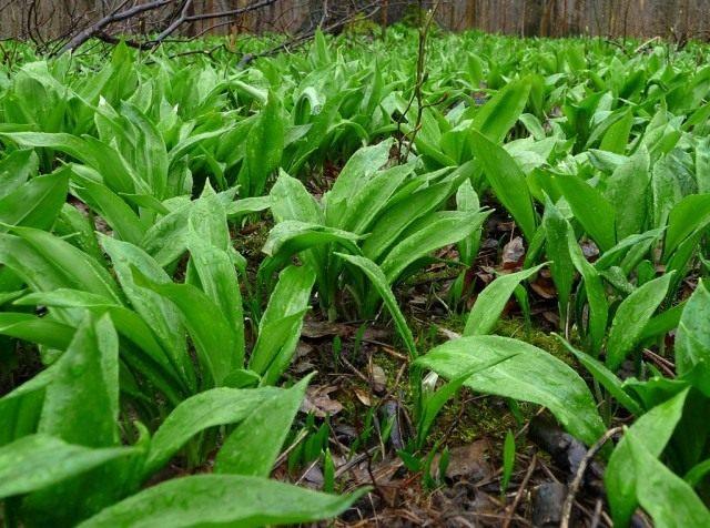 Черемша, или Лук медвежий, или Дикий чеснок, или Колба, Чензели, Левурда, (Allium ursinum)