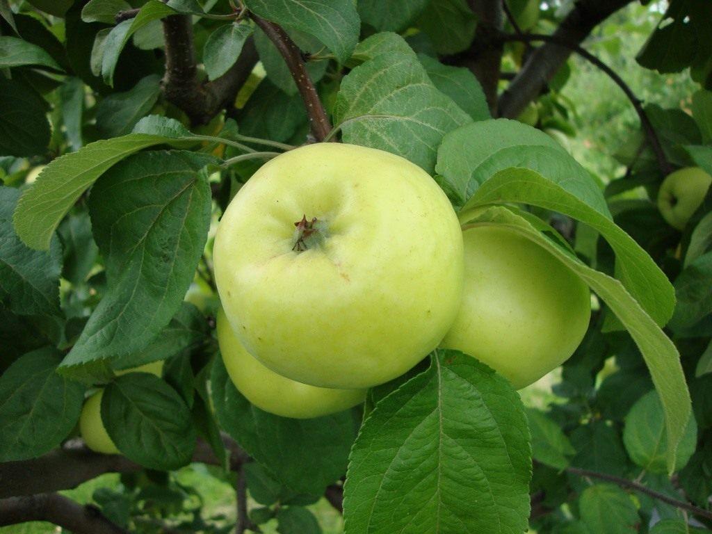 Сорт яблони Папировка —вкусное яблочко уже в середине лета