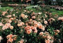 Знак ADR — гарантия качества розы