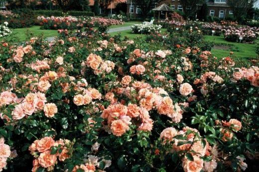 """Роза сорт """"Apricola"""""""
