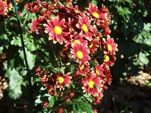 """Сорт мелкоцветковой хризантемы """"Долли"""""""