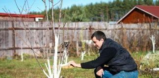 Весенняя побелка садовых деревьев для защиты от вредителей
