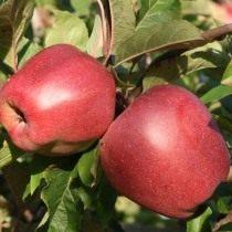 Яблоко сорт Глостер