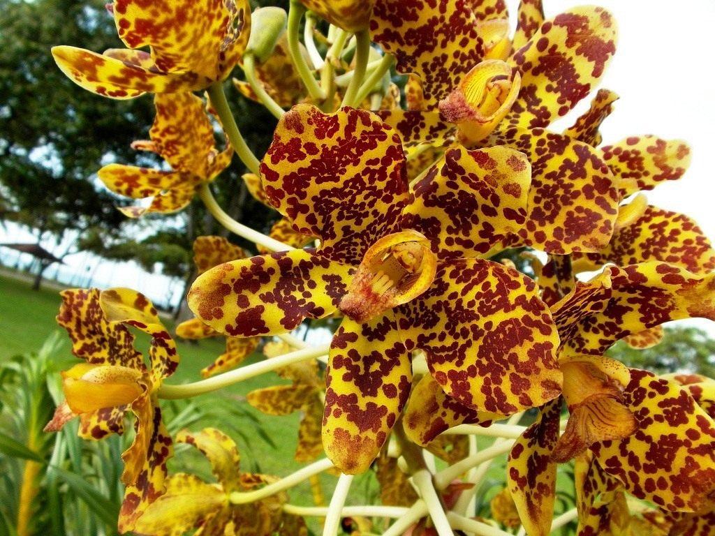 Grammatophyllum-speciosum-3