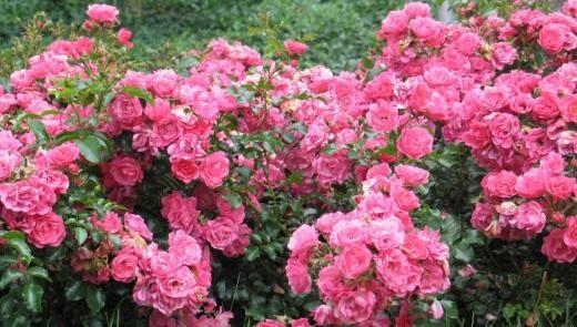 "Роза сорт ""Heidetraum"""