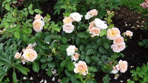 "Роза сорт ""Isarperle"""