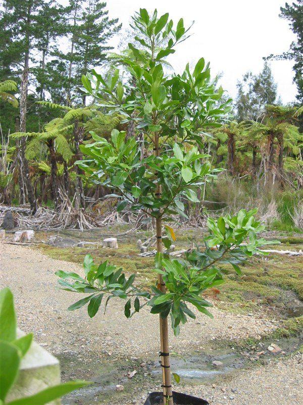 Коринокарпус гладкий (Corynocarpus laevigatus)