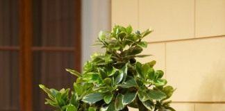Карака, коринокарпус гладкий, новозеландский лавр (Corynocarpus laevigatus)