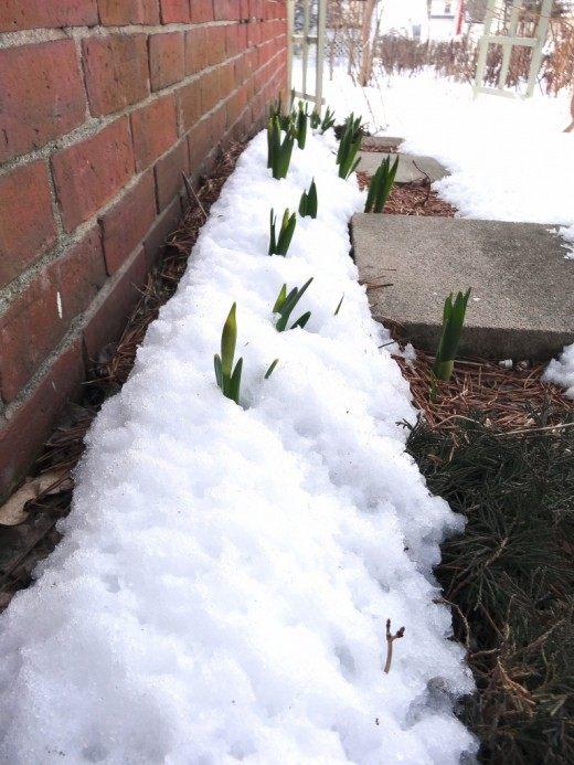 Выполняя работы по задержки снега для увлажнения почвы, не забывайте о том, что снег далеко не везде необходим, а для некоторых растений – опасен