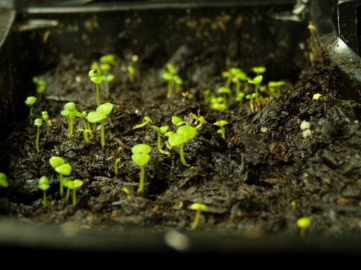 Приступаем к посеву семян летников на рассаду