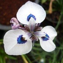 Морея остистая (Moraea aristata)