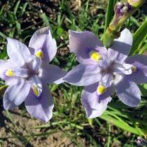 Морея Карсона (Moraea carsonii)