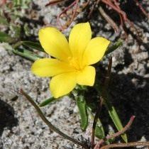 Морея лимонно-желтая (Moraea citrina)