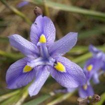 Морея многоколосая (Moraea polystachya)