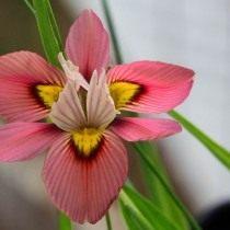 Морея трехцветная (Moraea tricolor)