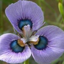 Морея мохнатая (Moraea villosa)