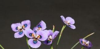 Морея мохнатая — «павлиний цветок»